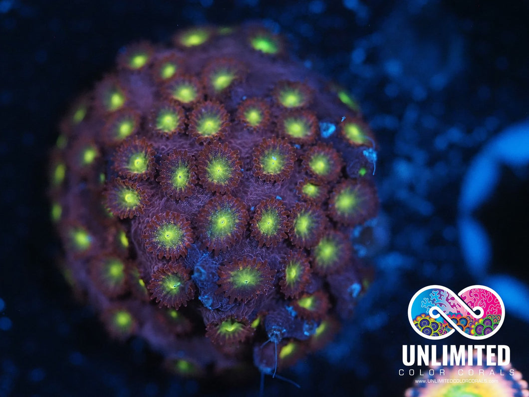 UCC Bling Bling Cyphastrea