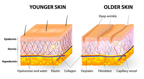 Graphic of younger skin and older skin