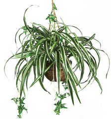 6607 Spider Silk Plant in Wicker Basket by Nearly Natural | 27 inches
