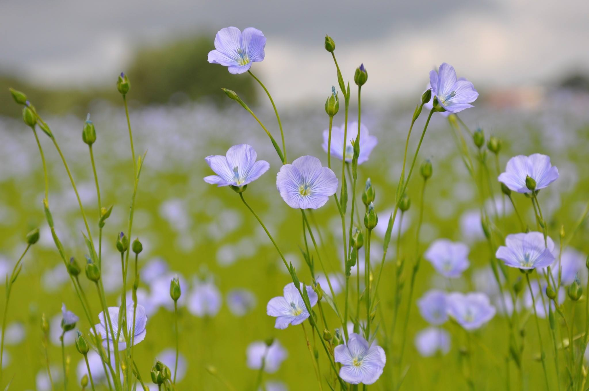 Flax grows in Northern Europe.