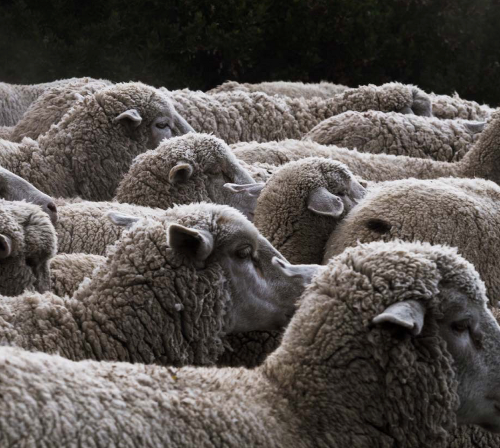 By Mölle pure wool Gotland sheep
