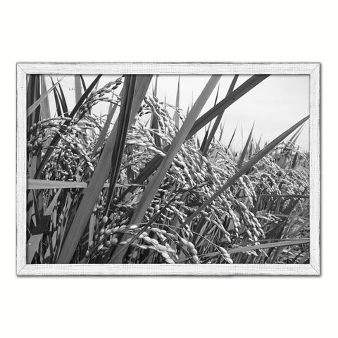 Nutritious Nature Rice Paddy Field Black and White Landscape decor, National Park, Sightseeing, Attractions, White Wash Wood Frame