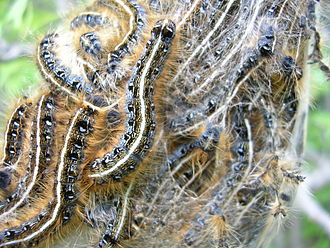 eastern tent caterpillars are common in calgary
