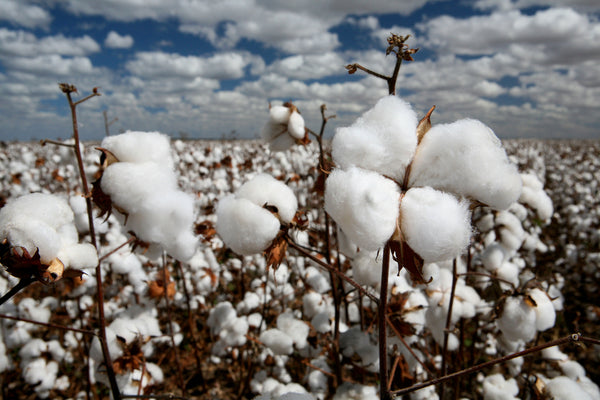 NC photocredit http://agrodaily.com/2014/08/04/southwestern-cotton/