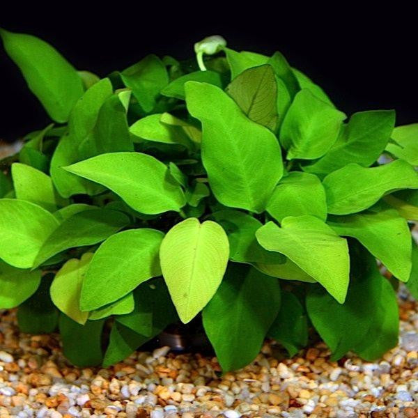 Anubias barteri Nana Gold / Single Plant P084A