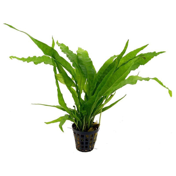 Microsorum pteropus Java fern / Willow / narrow leaf / Pot Full P081
