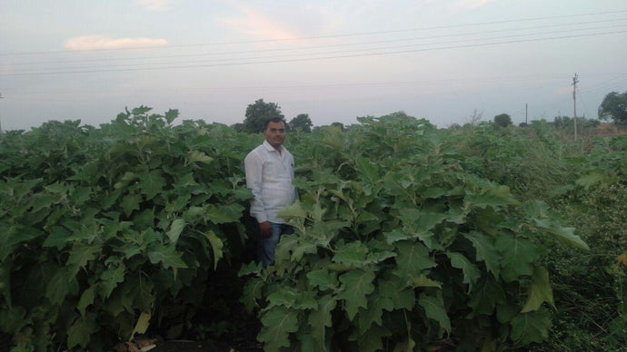 Integrated managment of pests on Brinjal