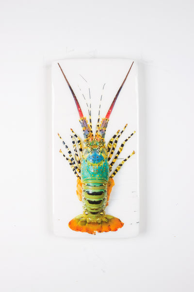 Jual lobster laut / Rainbow lobster (20cm x 40cm)
