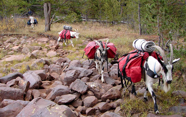 pack goats backpacking