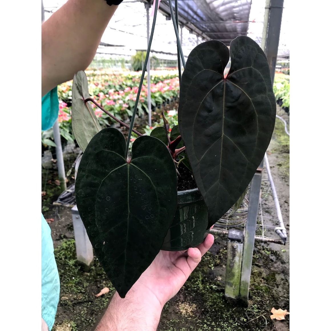 "Anthurium ""Ace Of Spades"" - 6"" Hanging Basket"