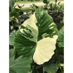 "Alocasia macrorrhiza ""Variegata"" (Variegated Elephant Ear) - PREORDERS ONLY FOR APRIL"