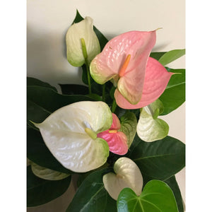 "Anthurium ""Pandola"" - Absolutely stunning!"