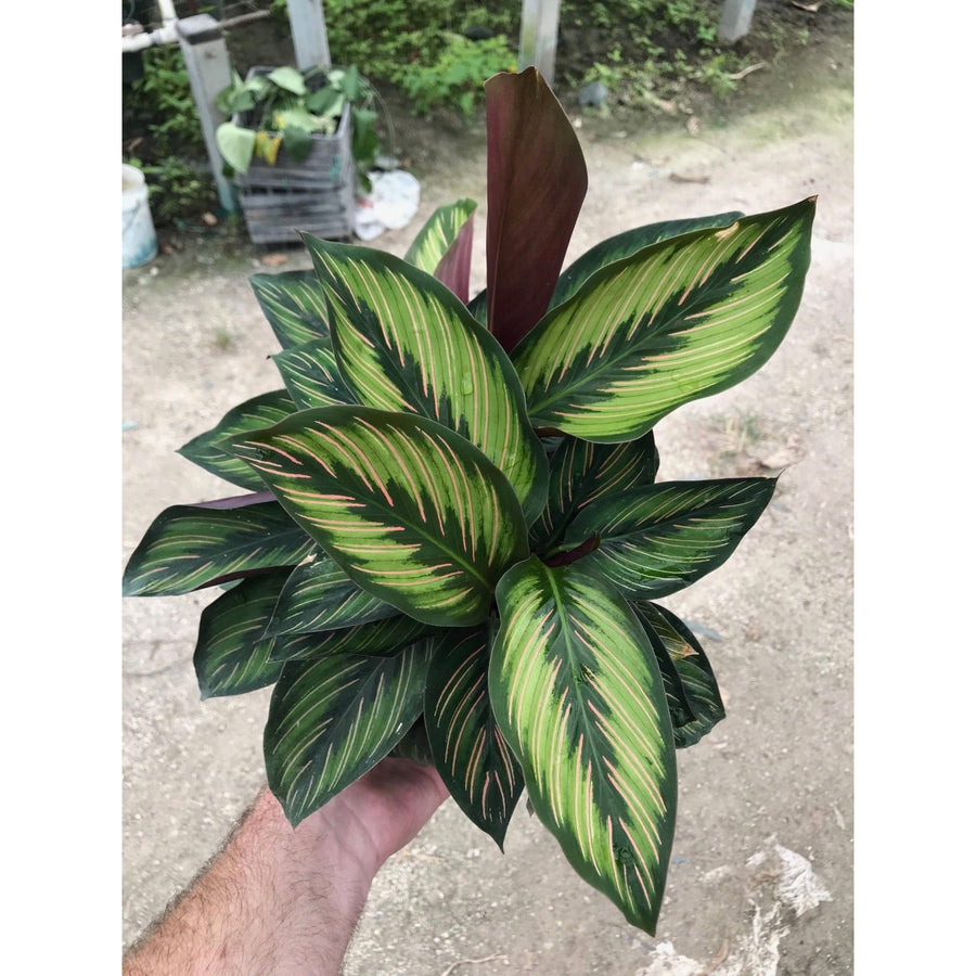 "Calathea ""Beauty Star"""