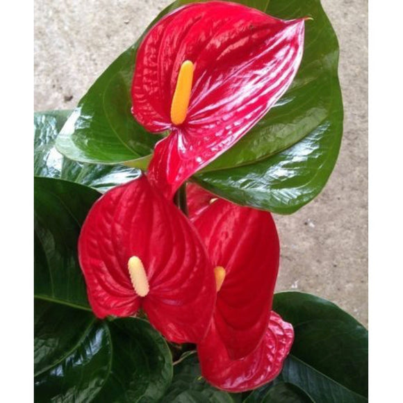 "Anthurium ""Alabama"""
