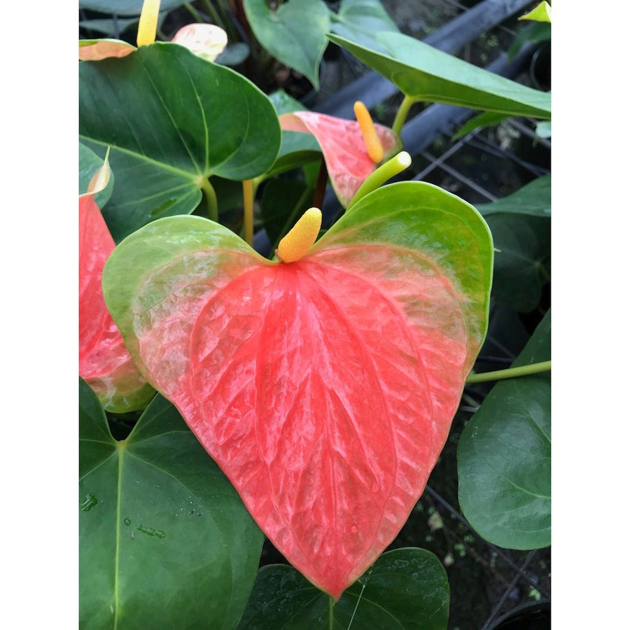 "Anthurium ""Prince Of Orange"""