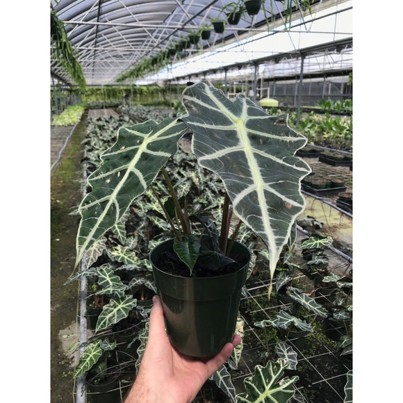 "Alocasia ""Polly"" (African Mask Elephant Ear/ African Mask Plant)"