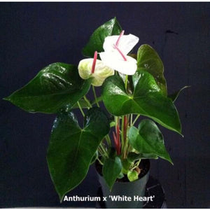 "Anthurium ""White Heart"""