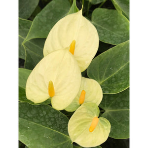 "Anthurium andraeanum ""Vanilla"" - SOLD OUT"