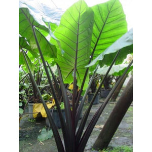 "Alocasia ""Black Stem"" - (Black Stem Elephant Ear)"