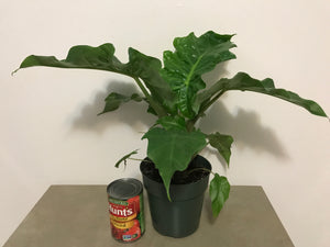 Alocasia Low Rider