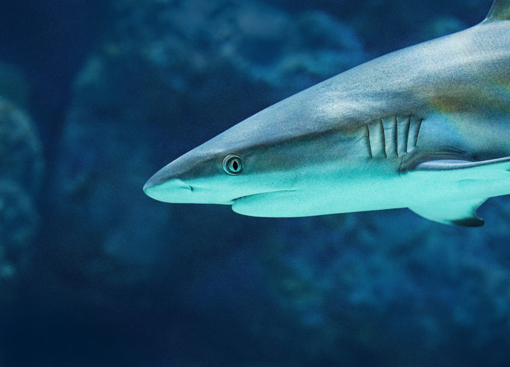 squalene-from-sharks
