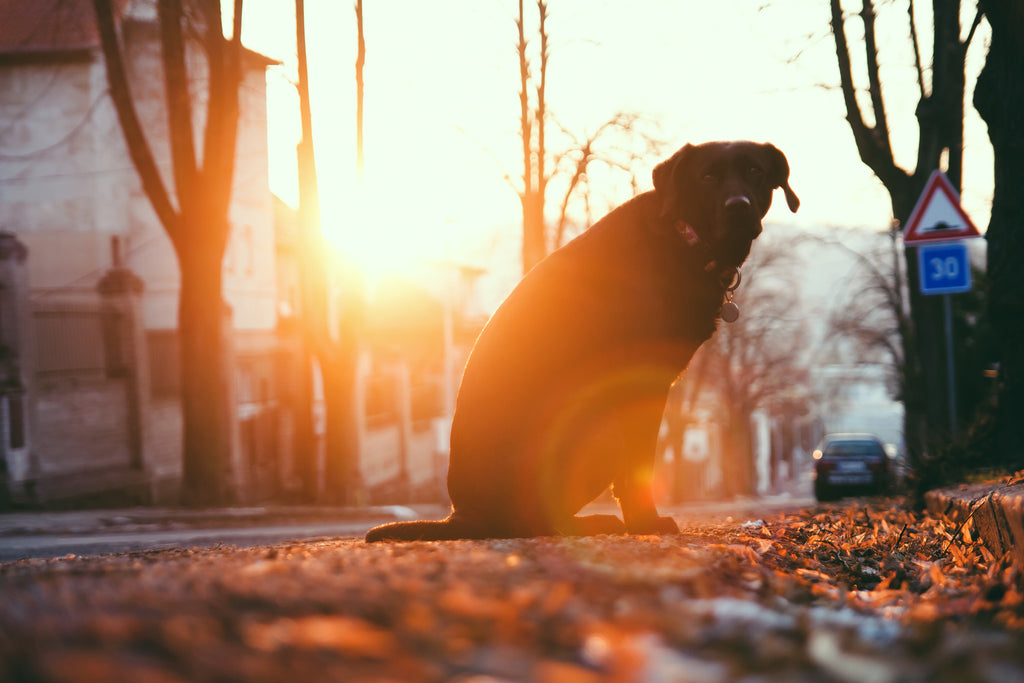 Cannabinoids can help get your dog back on his feet