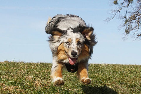 Most hyper dogs - Australian shepherd