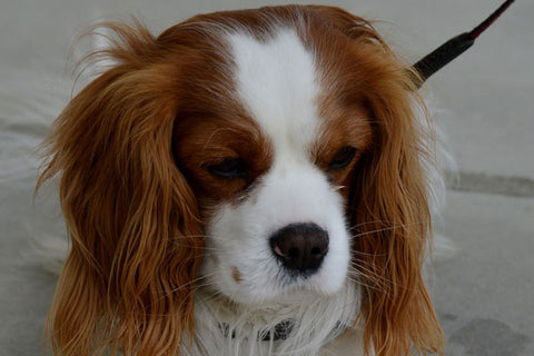Top calm dog breeds - cavalier