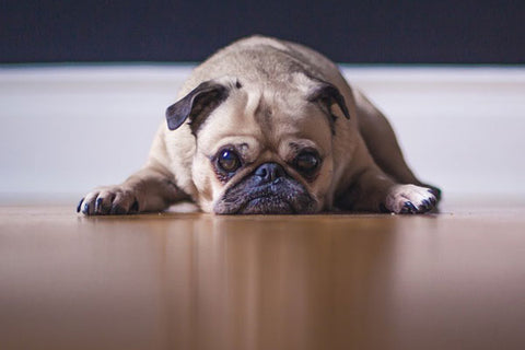 Top calm dog breeds - pug