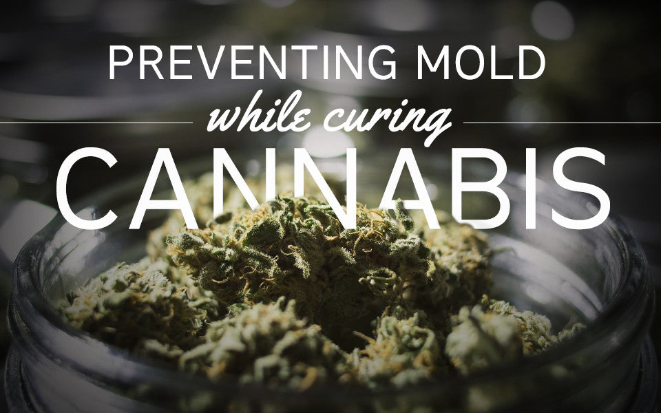 Preventing Mold While Drying and Curing Cannabis