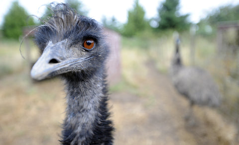 What Emu Oil Can Do For Your Skin
