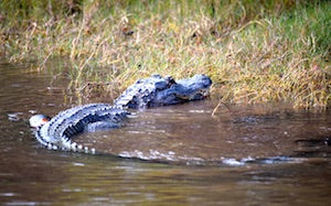 Tips for alligators hunting