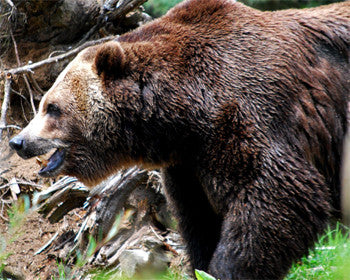 Bear Hunting Tips for Beginners. Beating Bear's Sense of Smell