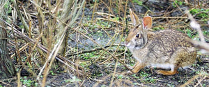 Solo Cottontail Hunting Tips. Part II