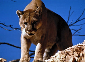 Catching a cougar is not an easy task