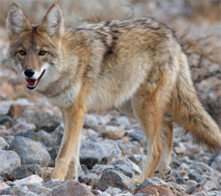 Common mistakes when you are trying to hunt a Coyote