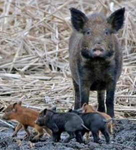How to stay safe during a feral hog hunting