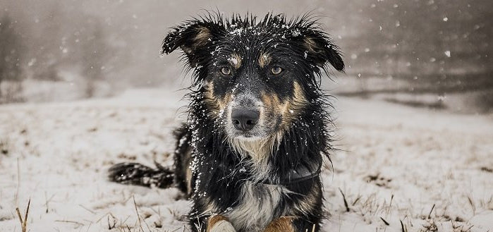 Signs and symptoms of dog's hypothermia