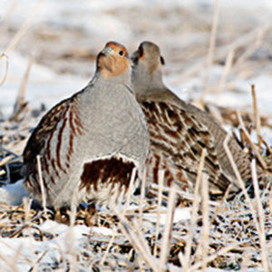 Hungarian Partridge Hunting Tips