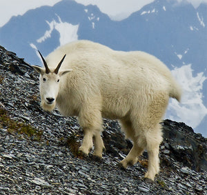 Keys for Mountain Goat Hunting
