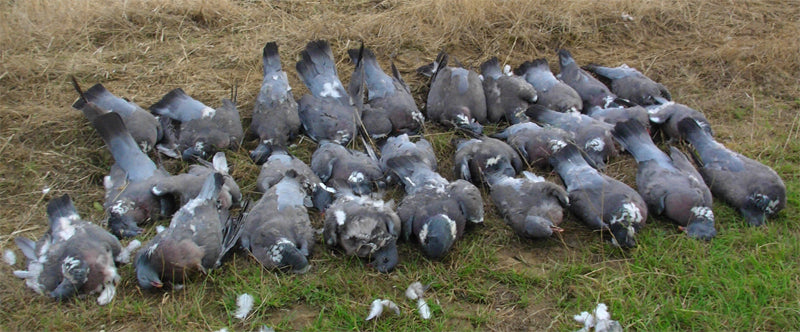 Pigeons Hunting Tips during Winter