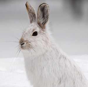 Snowshoe Hare Hunting Tips