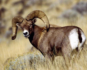 Wild sheep hunting tips