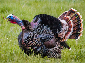 Legal Considerations for Wild Turkeys Hunting at Maine