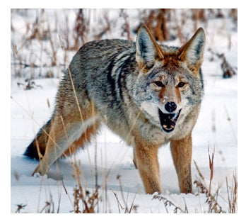 Mistakes during Coyote hunting