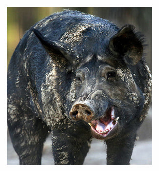 Feral Hogs Hunting Tips