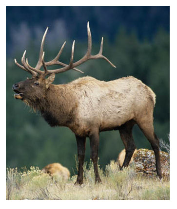 How to hunt an elk