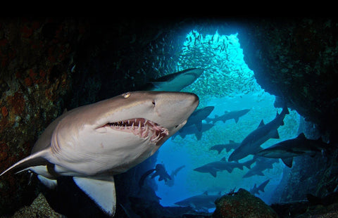 Wildlife Man  Shark Film Expeditions Deposit
