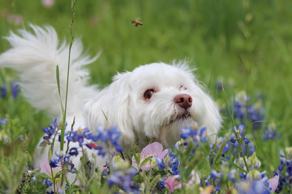 Dog chasing bee in field of flowers