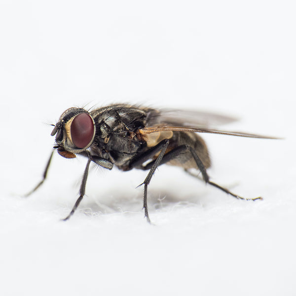Photo of a fly